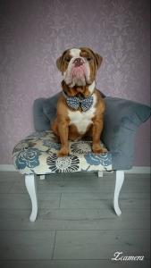 English bulldog for stud Listing Image Thumbnail