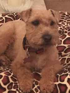 Stud wanted for Lakeland terrier Listing Image