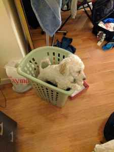 Super nice poodle young boy  Listing Image