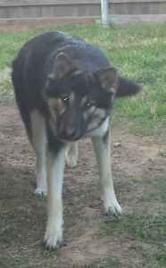 German shepherd/ british Columbian wolfdog Listing Image