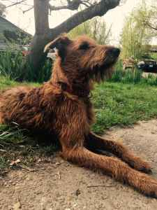 Akc Irish terrier  Listing Image