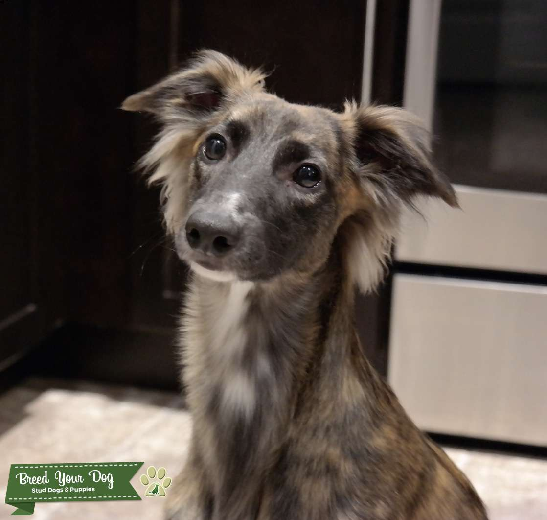 Longhaired Whippet Listing Image Big