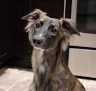 Longhaired Whippet Listing Image