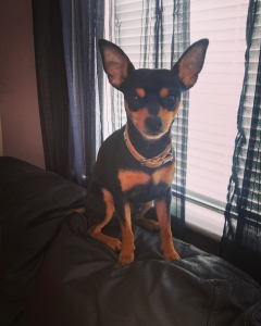 Min pin x Chihuahua male for stud urgent Listing Image