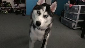 Unregistered husky male, looking for a female friend Listing Image