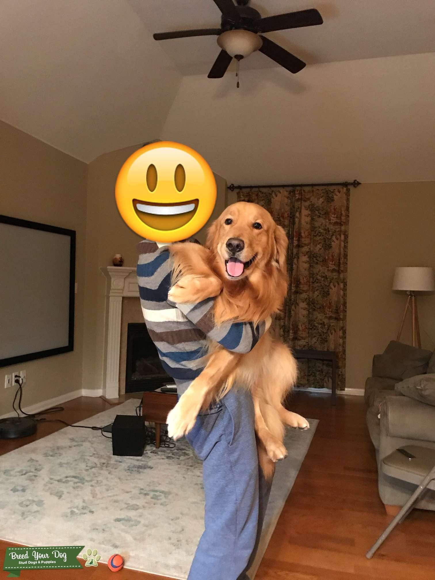 4 years old Golden Retriever boy looking for Golden Retriever or Poodle girl to breed Listing Image Big