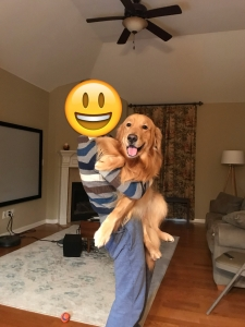 4 years old Golden Retriever boy looking for Golden Retriever or Poodle girl to breed Listing Image Thumbnail