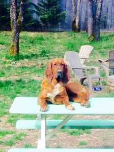 Bloodhound bitch for breeding  Listing Image
