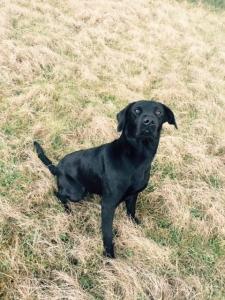 Working Black Labrador Featured Image