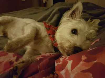 West highland white terrier stud Listing Image