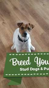 Male parsons russel terrier wanted Listing Image Big
