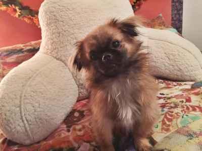 Fawn Toy Pekingese Stud Listing Image