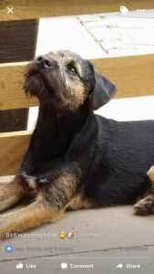 Border terrier for stud Listing Image