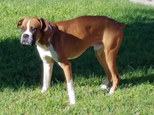 AKC REGISTERED MALE FLASHY FAWN BOXER Listing Image