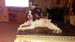 Liver and white english springer spaniel  Listing Image