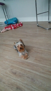 Male tea cup yorkie ready to breed  Listing Image Thumbnail