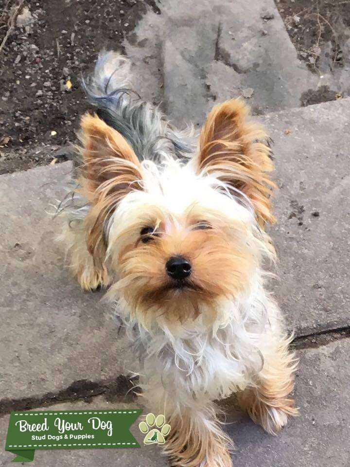 Male tea cup yorkie ready to breed  Listing Image Big