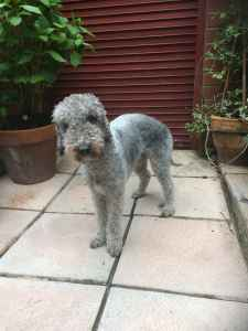 Bedlington terrier for stud Listing Image
