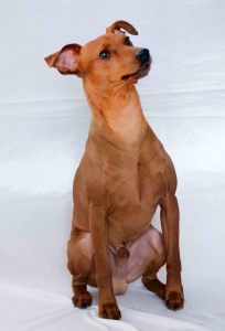STAG RED PURE BRED MINIATURE PINSCHER Listing Image