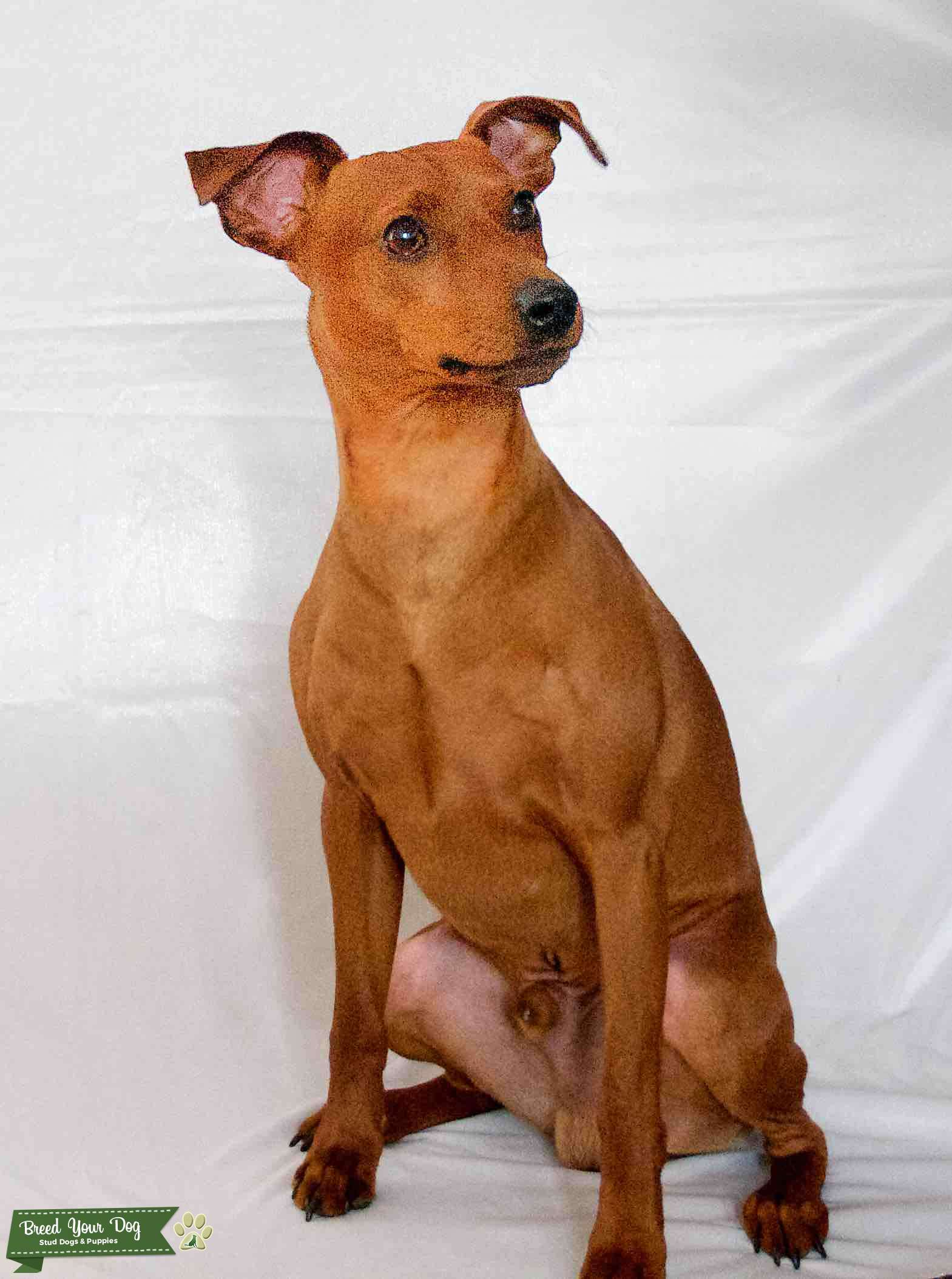 STAG RED PURE BRED MINIATURE PINSCHER Listing Image Big