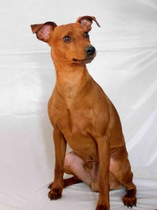 STAG RED PURE BRED MINIATURE PINSCHER Listing Image Thumbnail