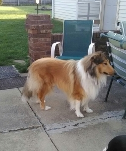 Beautiful rough collie breed Listing Image