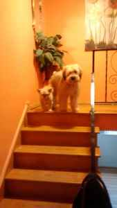 Wanted stud for a male Soft coat wheaten terrier Listing Image