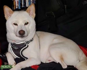 Cream colored Shiba Inu for ready to prove! Listing Image