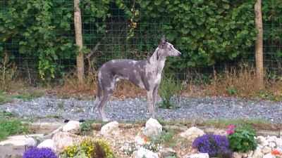 Rare 3/4 Greyhound x 1/4 Border Collie Grey Merle HANCOCK Lurcher! Listing Image