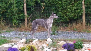 Rare 3/4 Greyhound x 1/4 Border Collie Grey Merle HANCOCK Lurcher! Listing Image Thumbnail
