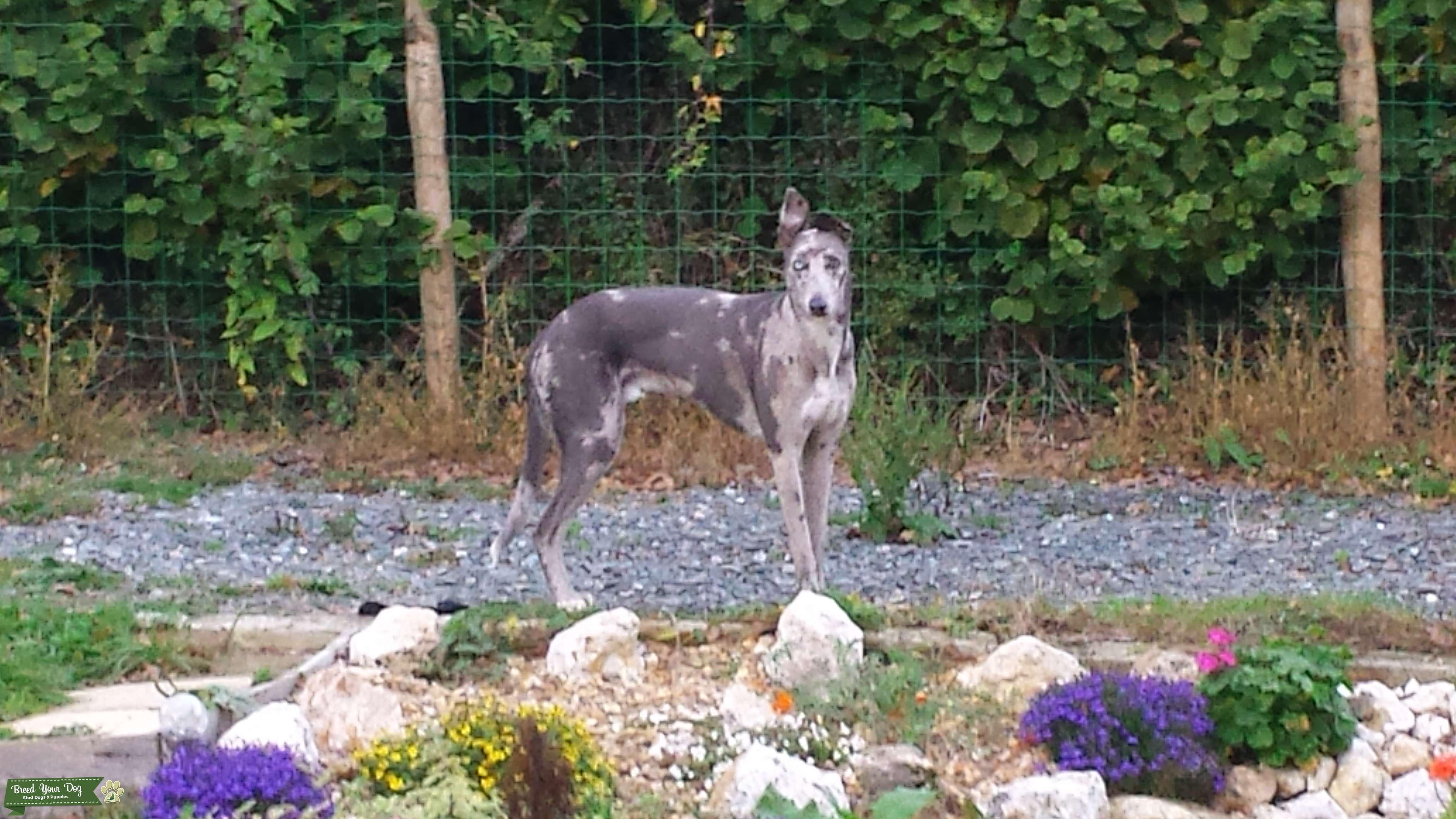 Rare 3/4 Greyhound x 1/4 Border Collie Grey Merle HANCOCK Lurcher! Listing Image Big