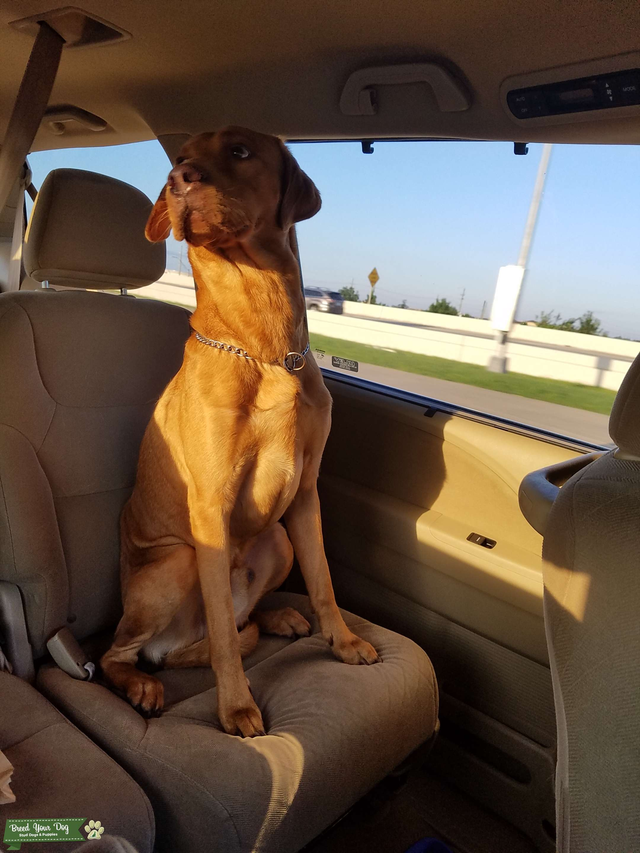 Hungarian Vizsla-Lab Mix. Golden-Rust Listing Image Big