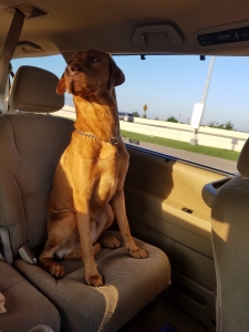 Hungarian Vizsla-Lab Mix. Golden-Rust Listing Image Thumbnail