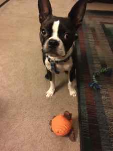 Boston Terrier Stud Listing Image