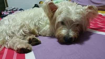 West Highlang White Terrier / Westie Male Stud Breeding Listing Image