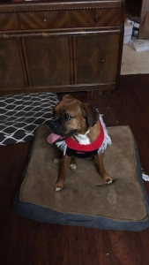 Boxer in heat. In need of a stud Listing Image