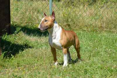 English miniature bull terrie,Bull terrier(stud dog) Listing Image