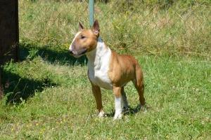 English miniature bull terrie,Bull terrier(stud dog) Listing Image