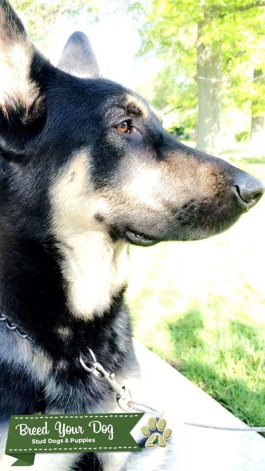 Full bred German Shepherd Dog Listing Image Big