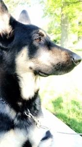 Full bred German Shepherd Dog Listing Image Thumbnail