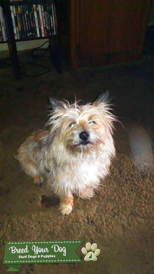 wheaten cairn terrier Stud Listing Image Big