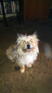 wheaten cairn terrier Stud Listing Image Thumbnail