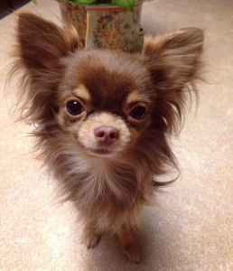 Long Haired Chihuahua Stud Listing Image
