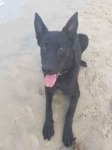 All black Belgian Malinois  Listing Image