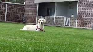 Pure Yellow Labrador (Stud Only) Listing Image