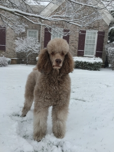 AKC and CKC Standard Poodle for stud Listing Image