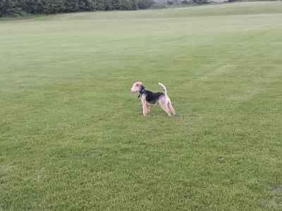 Lakeland Terrier for stud Listing Image