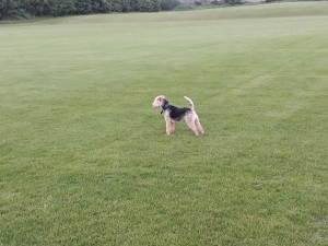 Lakeland Terrier for stud Listing Image