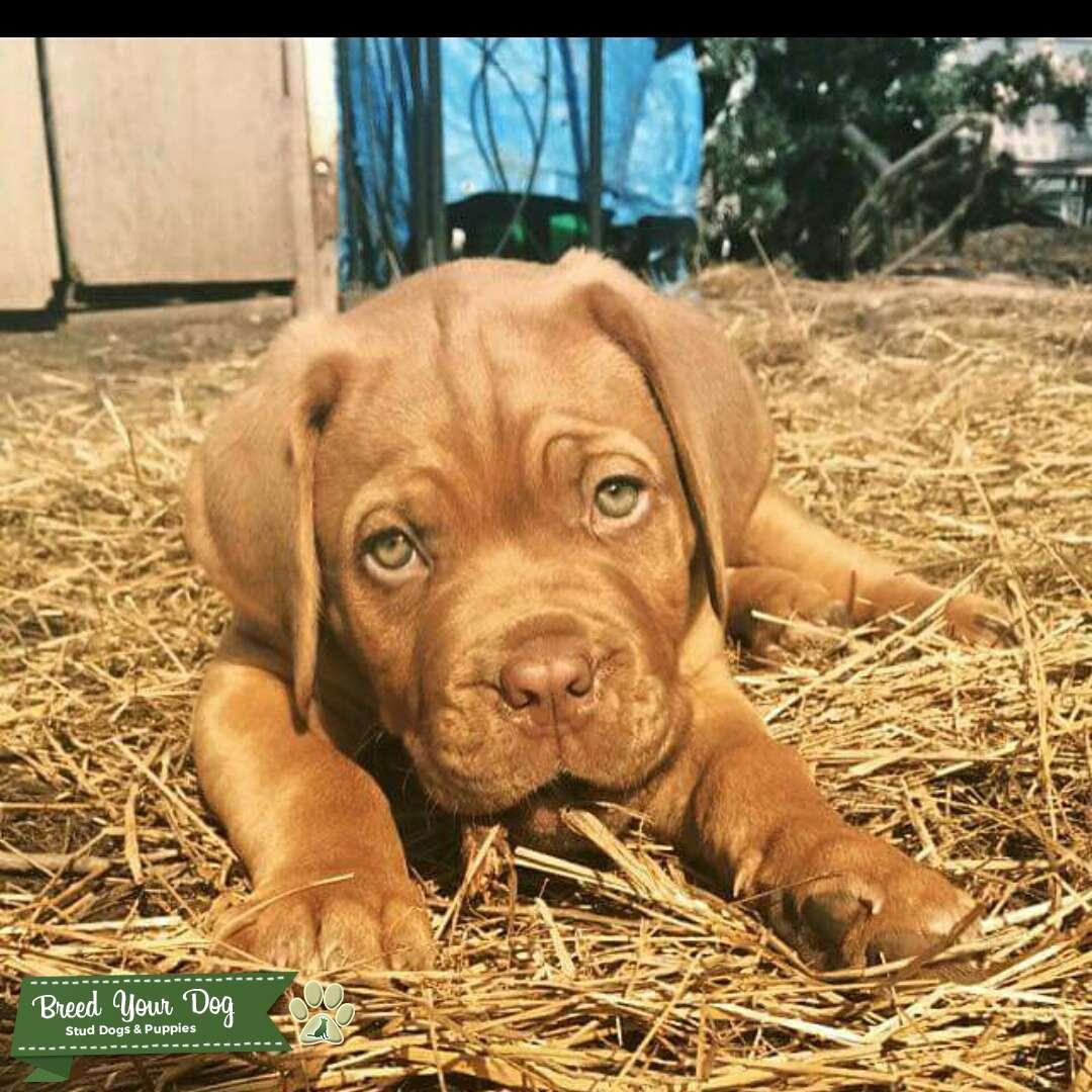 Stud French Mastiff Listing Image Big