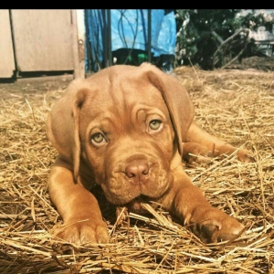 Stud French Mastiff Listing Image Thumbnail
